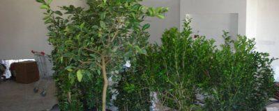 כדי עצים ושיחים לשתילה בגינת המרפסת ברמת גן