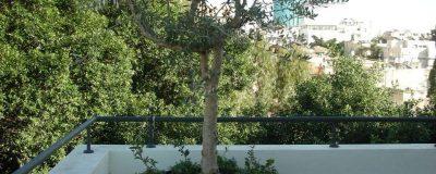 שתילת עץ במיכל מתאים בגינת מרפסת