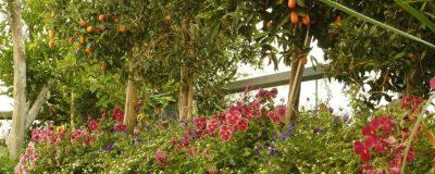עציצים ענקיים עם עצי תפוז סיני ושיח פרחים