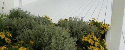פריחה צהובה בגינה שעל הגג